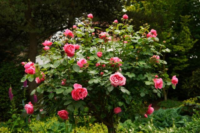 在玫瑰的种植中,玫瑰遇到的天敌就是虫害,这个被这里人们俗称为绿虱子的小虫,要生都是生长在枝头刚刚发芽的嫩尖头上,而这个小嫩尖头就是孕育花骨朵地方,每当看到这些绿虱子密密麻麻地爬在嫩尖头上,爬在刚结的嫩花骨朵时,我浑身就会起鸡皮疙瘩,恨由爱生,我知道被这些小虫啃噬过的花骨朵就不会再灿烂的绽放了,朵朵花儿们就像是受过伤的残疾儿一样。 有一年不知道是什么原因 ,玫瑰花枝头生满绿虱子,多到虱子爬满了不只是一层,而是堆满了几层,你简直都看不到花的枝头和花的骨朵了,眼看这年就要全军覆没了,为了看到这年我的玫