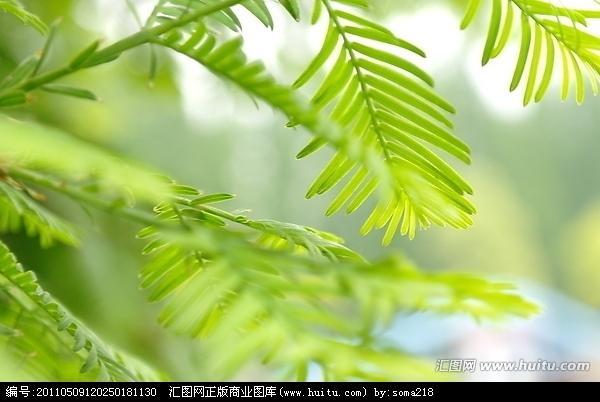 水杉树叶简笔画
