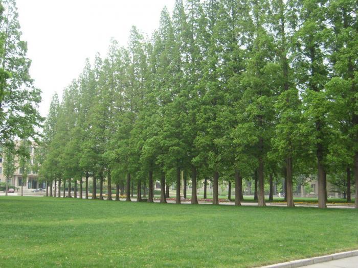 水杉植物手绘线稿